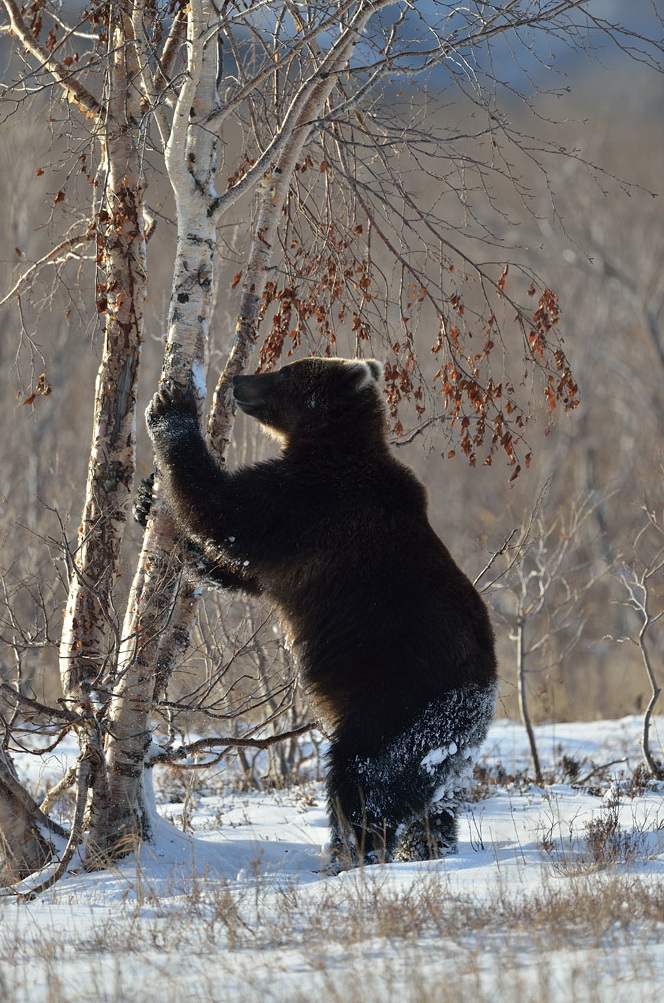 топили фото меток медведей на деревьях над