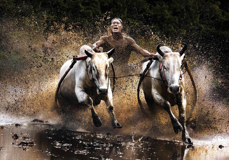 Скачки на буйволах»