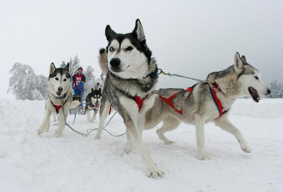 Катание на санях в собачьей упряжке - одно из традиционных зимних увлечений для всей семьи.