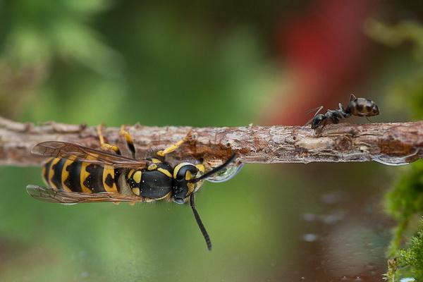 осы, пчела, макро, Макросъёмка насекомых, советы Макросъёмки, фото носекомых