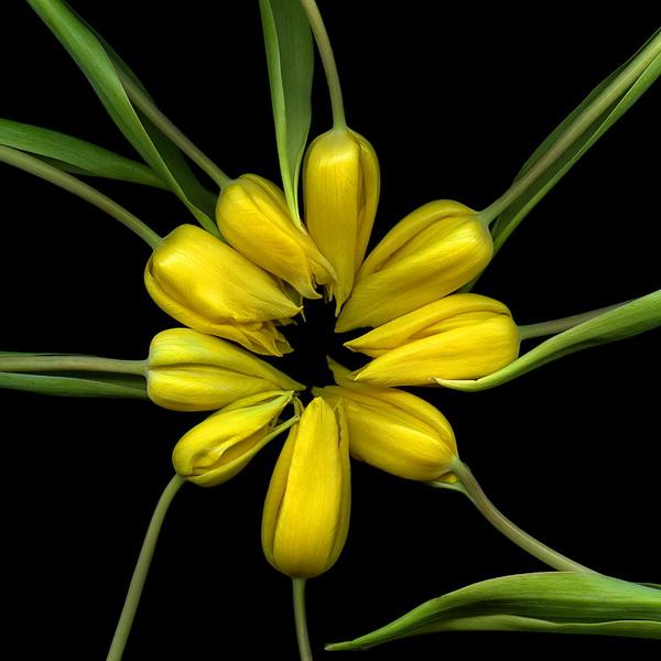 Магды Индиго, фотограф, фото, фото цветов, тюльпаны, желтые тюльпаны, букет цветов
