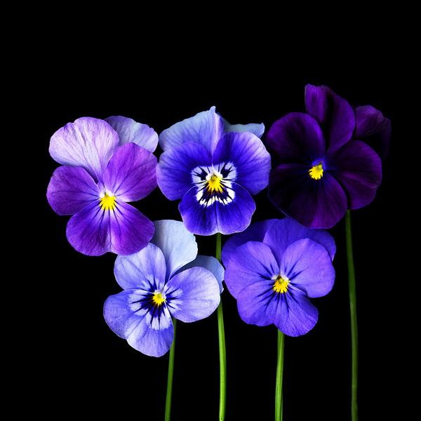 Магды Индиго, фотограф, фото, фото цветов, фиалки