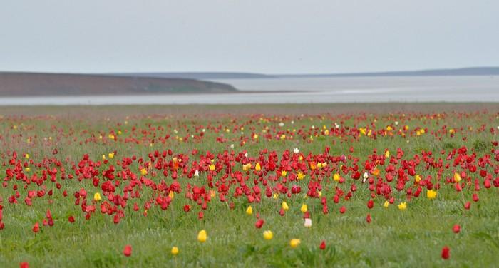 тюльпан, калмыкия, цветы, Игорь Шпилёнок, фотограф игорь шпиленок, фото