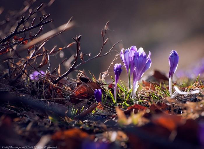 крокусы фото, крокусы в карпатах, Даниил Коржонов, фотограф Даниил Коржонов,