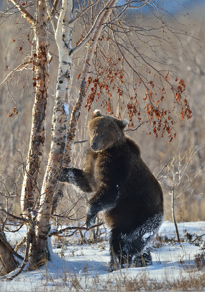 Николай Зиновьев, медведи фото, фото медведей камчатки
