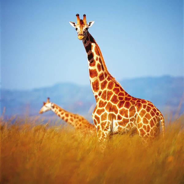 Жирафы. Долина Кидепо. Животный и растительный мир Африки в фото.