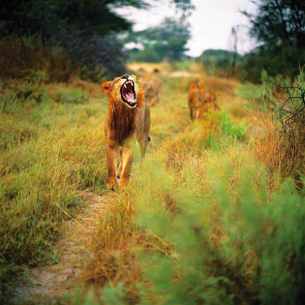 Львиный прайд. Животный и растительный мир Африки в фото.
