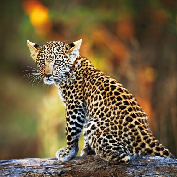 Трехмесячный детеныш леопарда. Животный и растительный мир Африки в фото.