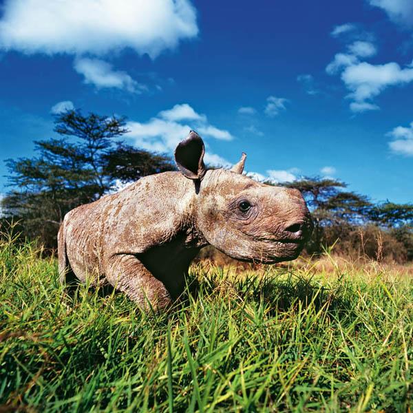 Двухмесячный детеныш черного носорога. Животный и растительный мир Африки в фото.