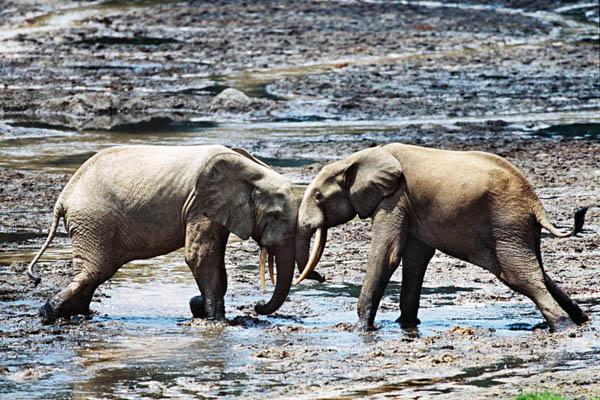 Лесные слоны. Животный и растительный мир Африки в фото.