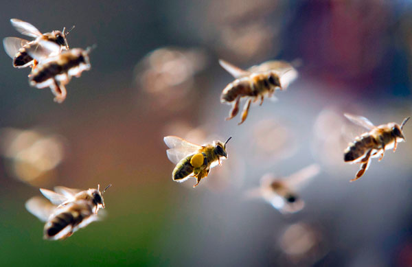 Рой пчел, частично загруженный пыльцой возвращается в улей, Frankfurt am Main, Germany