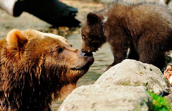 Камчатский бурый медведь Маша и один из ее 3-месячных детей, в зоопарке Hagenbecks, Hamburg, Germany