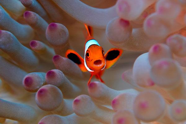 Богатая морская жизнь индонезийских вод Raja Ampat, между Тихим и Индийским океаном