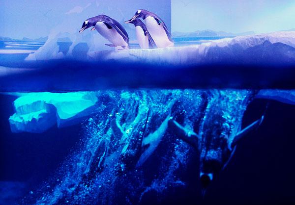 Колония пингвинов Gentoo в Лондонском аквариуме. Центр Лондона